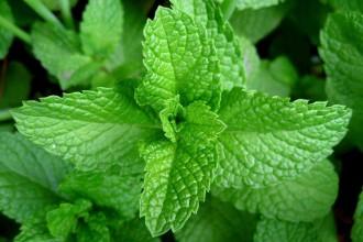 Mint-Leaves-Web