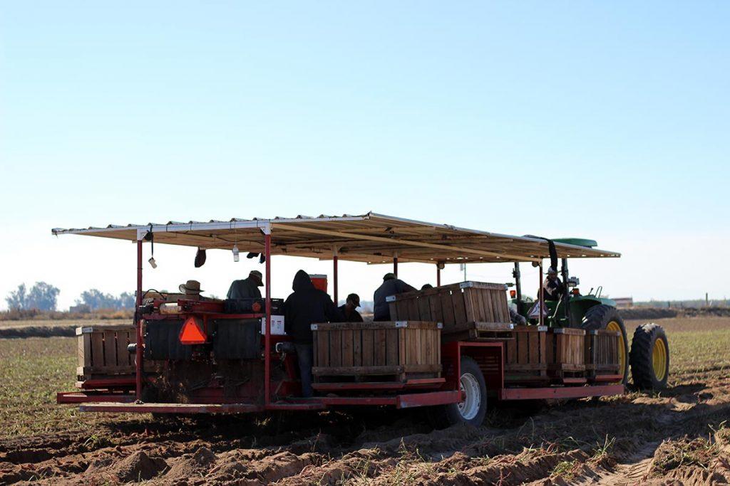 sweet potato harvester