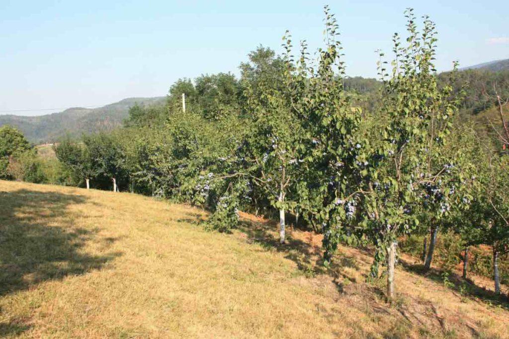plum trees at yebiga rakija farm